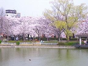 開成山の桜2